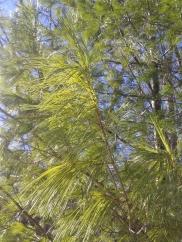 Young Fir tree